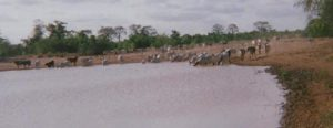 Ghana hub project where herds of cattle come to share the same drinking water 2010